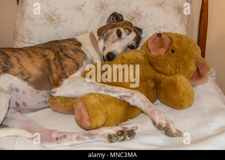 A brindle and white pet greyhound at rest cuddling a teddy bear - Stock Image