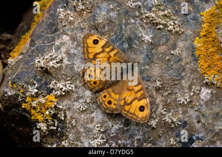 Wall Brown butterfly (Lasiommata megera: Nymphalidae; Satyrinae), basking on a rock UK - Stock Image