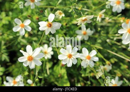 Daisy type flowers in Jardin des Plantes, Boulevard du Jardin des Plantes, Amiens, France - Stock Image