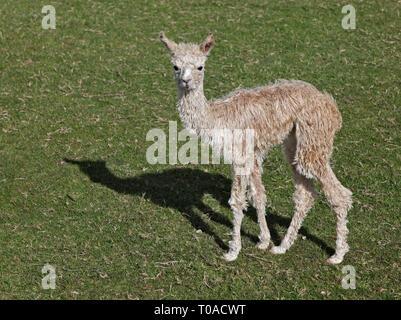 Alpaca Cria (lama pacos) - Stock Image