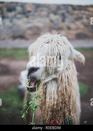 Nose of a typical peruvian llama eating in Cusco - Stock Image