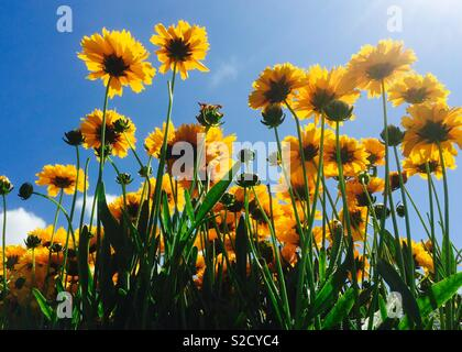 Coreopsis flowers from below - Stock Image