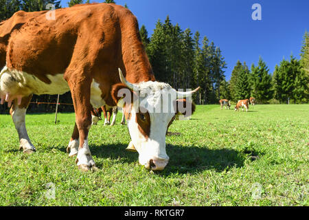 Blackforest cow eating grass, Germany - Stock Image