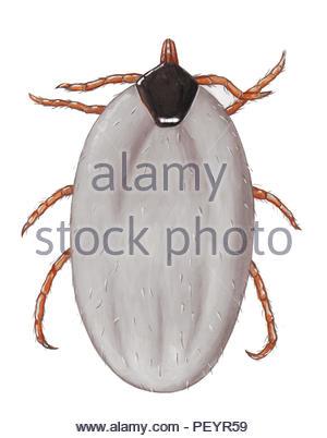 tick female hyalomma dromedarii rest - Stock Image