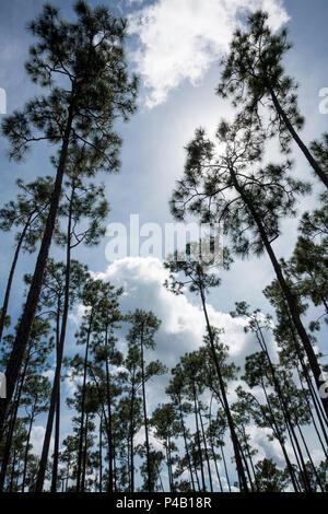 Slash pine Pinus elliottii surround lake, Everglades National Park, Miami, Florida, USA - Stock Image