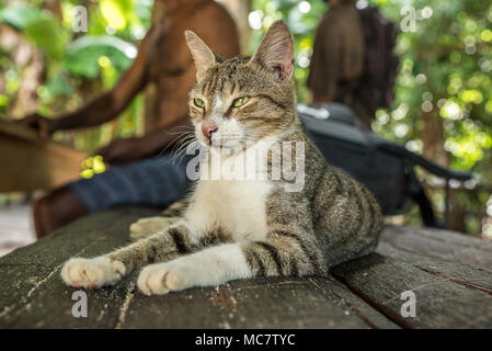 A relaxed cat on a bamboo bench, Mushu Island, papua New Guinea - Stock Image
