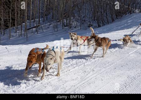Dog Sled Team In Training Run - Stock Image