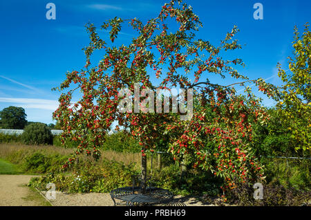 Crab Apple tree with a seat fitted around its trunk in autumn covered in bright red apples in Helmsley Walled Garden - Stock Image