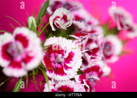 pink and white sweet william stem on pink - language of flowers 'gallantry' 'a smile' Jane Ann Butler - Stock Image