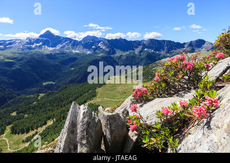 Rhododendrons framed by green woods and Pizzo Scalino seen from Monte Roggione, Malenco Valley, Valtellina, Lombardy, Italy - Stock Image