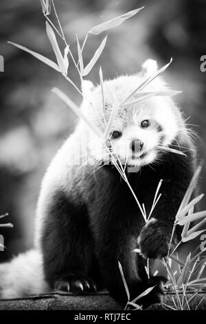 Red panda bear, Ailurus fulgens, in his natural habitat in monochrome. - Stock Image