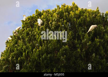 Little Corella which are Australian native parrots,parrot, feeding on top of a tree, against a cloudy sky. - Stock Image