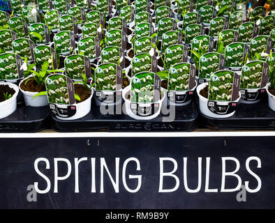 Garden Centre display Spring Bulbs White snowdrops Galanthus woronowii for sale as bedding plants for spring planting - Stock Image