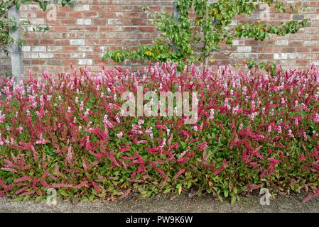 Mass planting of  Persicaria affinis 'Darjeeling Red' in a walled garden in Rouken Glen park, East Renfrewshire, Scotland, UK, Europe - Stock Image