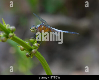 Dragonfly in vietnam - Stock Image