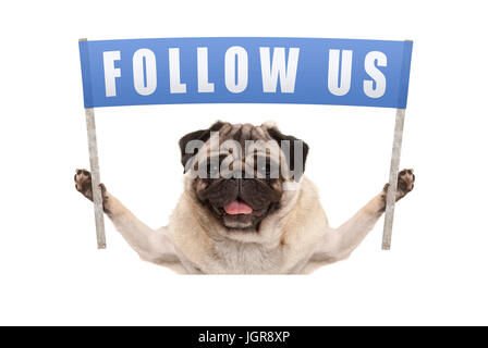 pug puppy dog holding up blue banner with text follow us for social media, isolated on white background - Stock Image