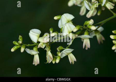 Pagoda Tree (Styphnolobium japonicum, Sophora japonica), flowers. - Stock Image