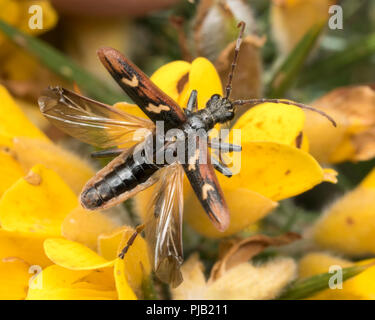 Two banded longhorn beetle (Rhagium bifasciatum) about to take flight from gorse bush. Tipperary, Ireland - Stock Image