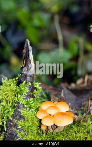 British Isles Fungi Hypholoma sublateritium Brick cap in Lathkilldale Peak District National Park Derbyshire - Stock Image
