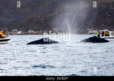 Humpback Whale (Megaptera novaeangliae) surfacing among whale watching boats - Stock Image