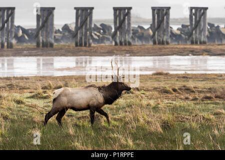 A young bull Roosevelt Elk (Cervus canadensis roosevelti) visits Trestle Bay; Hammond, Oregon, United States of America - Stock Image