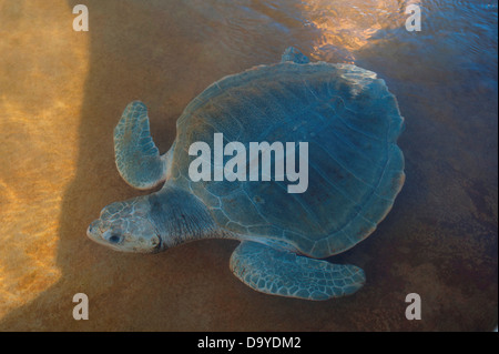 Olive Ridley Sea turtle (Lepidochelys olivacea) in a pool at turtle Rearing and Rehabilitation Center, Brunei - Stock Image