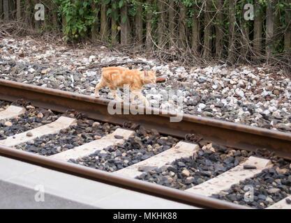 Cat walking on railway line, Tuscany, Italy, Europe - Stock Image