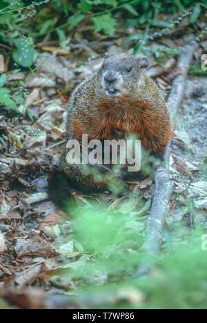 Groundhog (Marmota monax) or Woodchuck in Northern Michigan forest near Munising Michigan US. Photo taken in June. - Stock Image