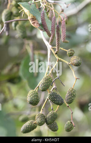 Male and female flowers, catkins, of alder (Alnus glutinosa) in autumn. They both appear on the same tree, monoecious, - Stock Image