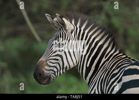 Plains Zebra (Equus quagga boehmi) close up of adults head  Lake Mburo National Park, Uganda                  November - Stock Image