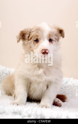 Border Collie Dogs.Puppies. - Stock Image