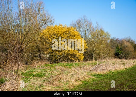 A thicket in early spring, with most trees still bare and a mature hazel tree (corylus avellana) in full bloom of yellow catkins standing out - Stock Image