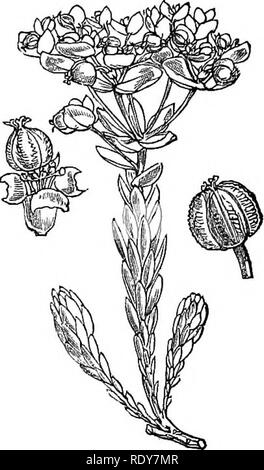 . Illustrations of the British flora: a series of wood engravings, with dissections, of British plants. Botany; Botany. 889. Euphorbia Lathyris.. 1. Euphorbia Paralias.. Please note that these images are extracted from scanned page images that may have been digitally enhanced for readability - coloration and appearance of these illustrations may not perfectly resemble the original work.. Fitch, W. H. (Walter Hood), 1817-1892; Smith, Worthington George, 1835-1917; Bentham, George, 1800-1884. Handbook of the British flora. London, L. Reeve & Co. - Stock Image