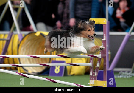 New York, USA. 09th Feb, 2019. New York, USA. 09th Feb, 2019. Westminster Dog Show - Tarzan, a Shetland Sheepdog, competing in the preliminaries of the Westminster Kennel Club's Master's Agility Championship. Credit: Adam Stoltman/Alamy Live News - Stock Image