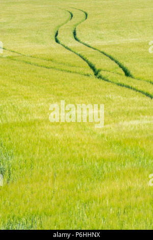 Tractor tyre marks tracks in green barley crop. Metaphor for food security, food supply chain, abundance, plentiful food. - Stock Image