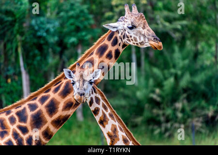 Two Rothschild's giraffe's, usually found in Kenya, South Sudan and Uganda. - Stock Image