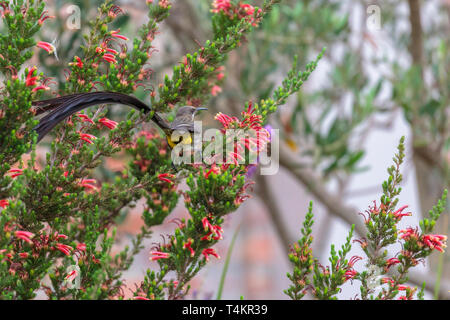 Male Cape sugarbird, Promerops cafer, sitting on a flower with back towards the camera, Western cape, South Africa - Stock Image