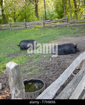Two domestic hogs in a pen. - Stock Image