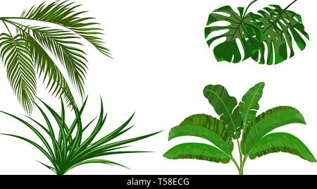Set. Green leaves of banana, coconut , monstera and ogawa. Bush. Tropical theme. for print, picture or postcard. illustration - Stock Image