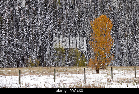 Fall Colors Kananaskis contrast first snowfall Aberta - Stock Image