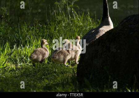 A mama Canadian Goose leads her little ones home to bed at the end of the day - Stock Image