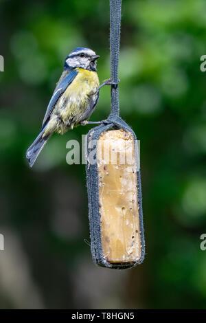 Bluetit (Cyanistes caeruleus) bird taking suet from garden feeder - Stock Image