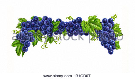 Grapes Purple Upper Branch - Stock Image