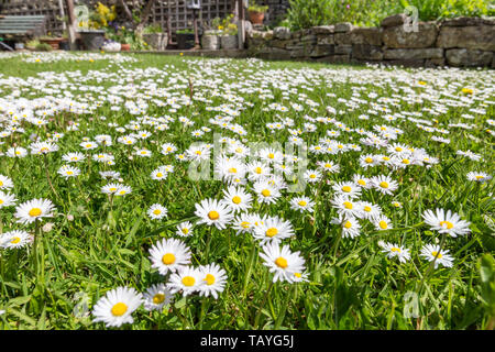 A Garden Lawn Covered in Lawn Daisies (Bellis perennis) - Stock Image