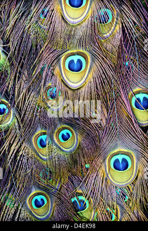 A detailed photograph, of peacock tail feathers. - Stock Image