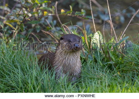 Eurasian (European) otter emerging from the water at the British Wildlife Centre, Surrey, UK - Stock Image