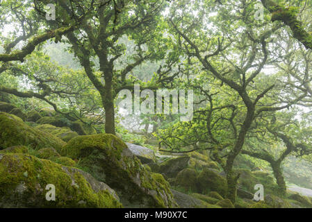 Gnarled and twisted oak trees growing over moss covered boulders in Wistman's Wood SSSI, Dartmoor National Park, Devon, England. Summer (July) 2017. - Stock Image