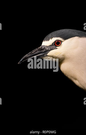Close-up of a Black-crowned Night Heron (Nycticorax nycticorax)  at Night, Hungary - Stock Image