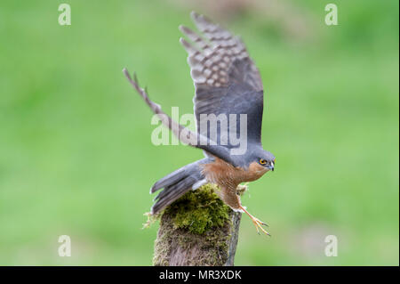 A male Sparrowhawk (Accipiter nisus) launches into flight - Stock Image