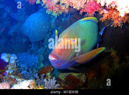 Red Sea Fish - Stock Image